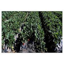 Strawberry Crop CA