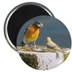 Beautiful Black Headed Grosbeak Magnet
