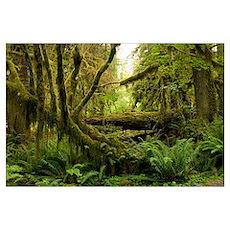 Temperate rainforest Poster