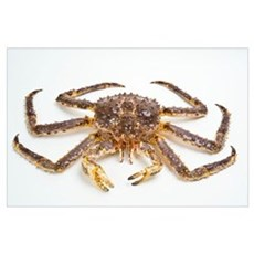Red king crab Poster