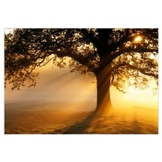 Oak tree at sunrise Framed Print