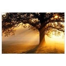 Oak tree at sunrise Poster