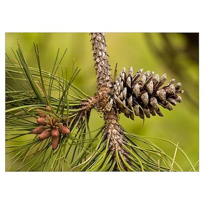 Maritime pine (Pinus pinaster) Poster