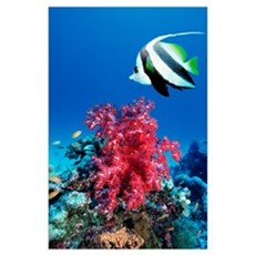 Longfin bannerfish and soft corals Poster
