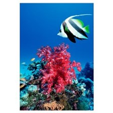 Longfin bannerfish and soft corals