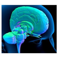 Human brain anatomy, artwork Poster