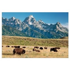 Herd of American Bison Canvas Art