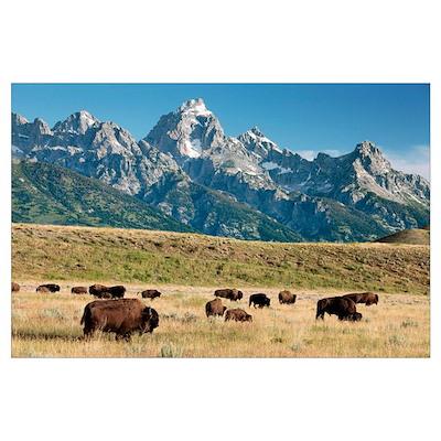 Herd of American Bison Poster