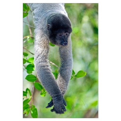 Gray woolly monkey Poster