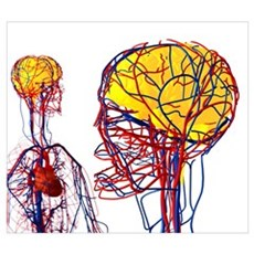 Cardiovascular system and brain, artwork Poster