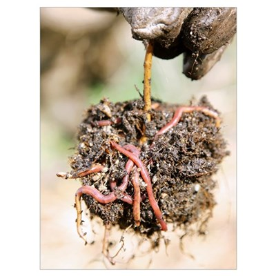 Brandling worms in compost Poster