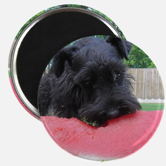 Unique Black miniature schnauzer Magnet