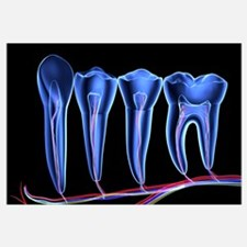 Teeth, cross section