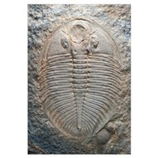 Trilobite fossil Poster