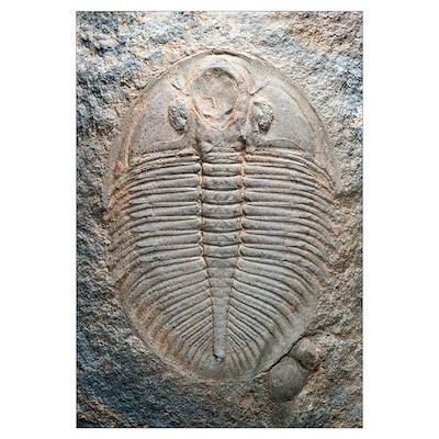 Trilobite fossil Poster