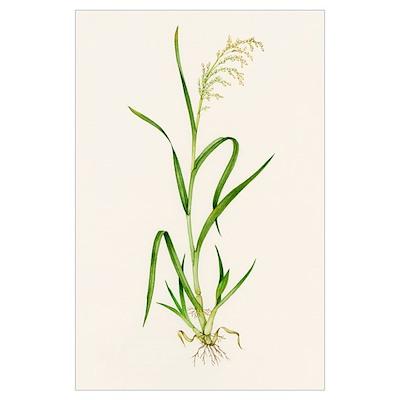 Wild rice (Zizania aquatica) Poster