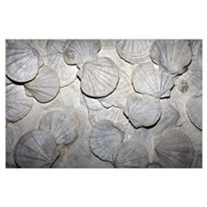 Scallop fossils Poster