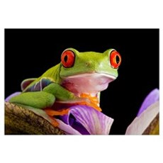 Red-eyed tree frog Canvas Art