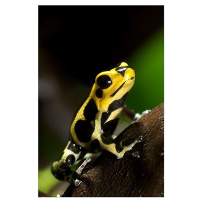 Poison arrow frog Poster