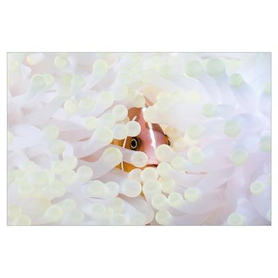 Pink anemonefish sheltering Poster