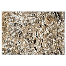 Limestone with Turritella shell fossils Poster