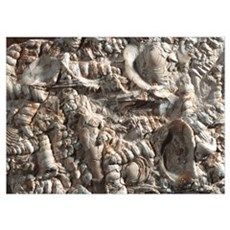 Limestone with fossilised shells Poster