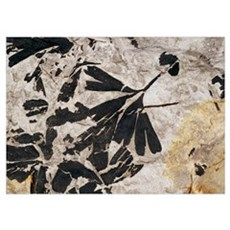 Ginkgo sp. fossil leaves Poster
