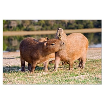 Capybara by a lake Poster