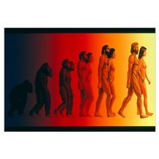 Artwork of the stages in human evolution