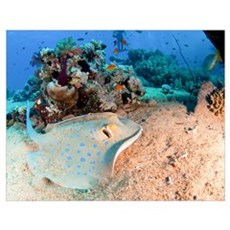 Blue-spotted stingray Poster