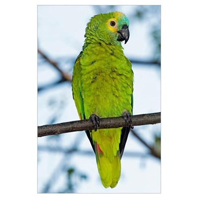 Blue-fronted parrot Poster