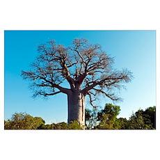 Adansonia madagascariensis baobab tree Poster