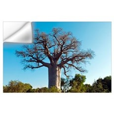 Adansonia madagascariensis baobab tree Wall Decal