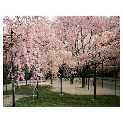 Cherry trees in a garden, Heian Jingu Shrine, Kyot Poster