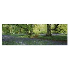 Bluebells in a forest, Thorp Perrow Arboretum, Nor Poster