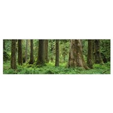 Trees in a rainforest, Hoh Rainforest, Olympic Nat Poster