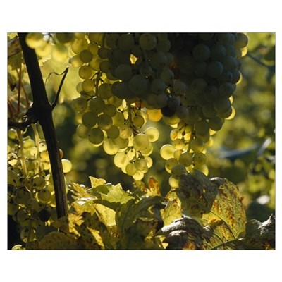 Bunches of grapes hanging on vines Poster