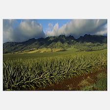 Pineapple crop in a field, Oahu, Hawaii