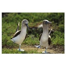 Blue-footed Booby (Sula nebouxii) pair performing  Poster