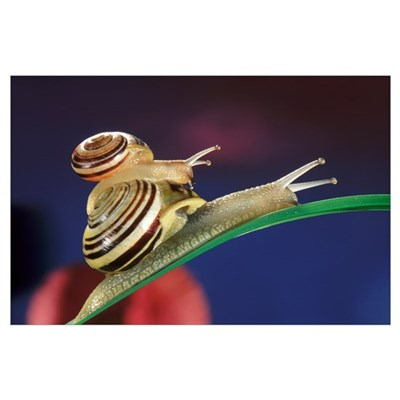 Brown Lipped Snail riding on the shell of a larger Poster