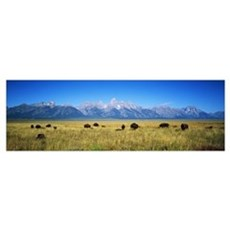 Field of Bison with mountains in background, Grand Poster