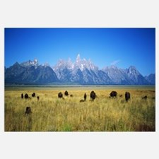 Field of Bison with mountains in background, Grand