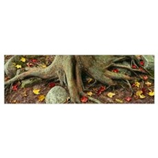 Close-Up Of Tree Roots, Sleeping Bear Dunes Nation Poster