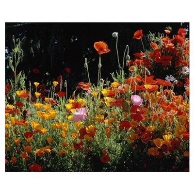California Golden Poppies (Eschscholzia californic Framed Print