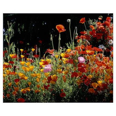 California Golden Poppies (Eschscholzia californic Poster