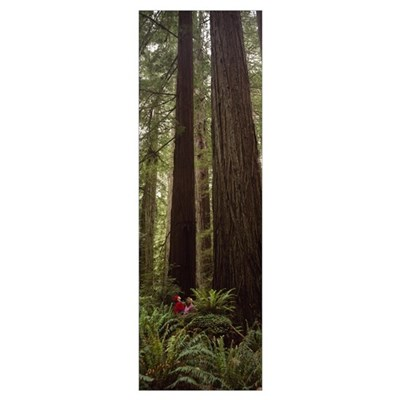 Redwood (Sequoia sempervirens) trees in a forest, Framed Print