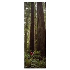 Redwood (Sequoia sempervirens) trees in a forest,  Poster