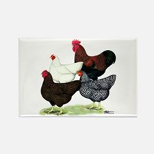 Plymouth Rock Chickens Rectangle Magnet (100 pack)