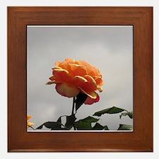 Peach Rose 2 Framed Tile