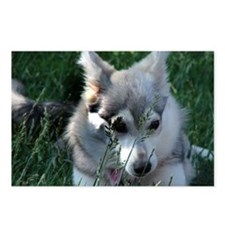 Alaskan Klee Kai hiding in grass Postcards (Packag